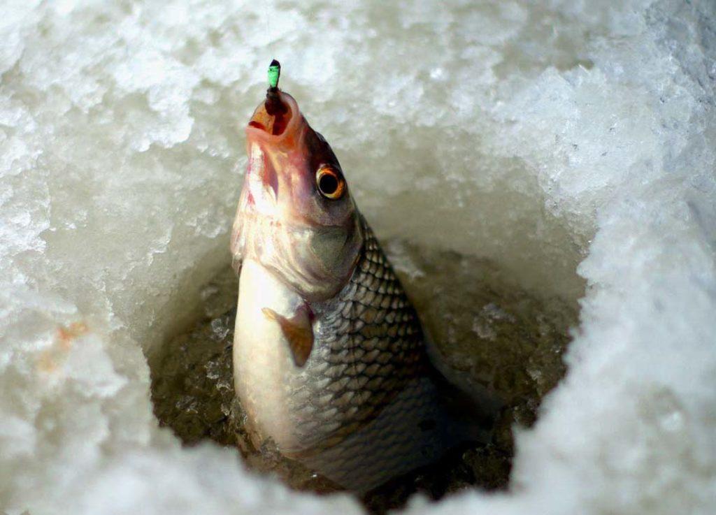Как ловить плотву зимой: особенности