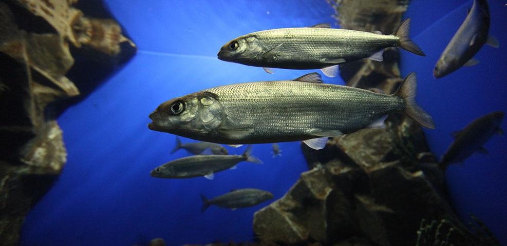 рыба омуль
