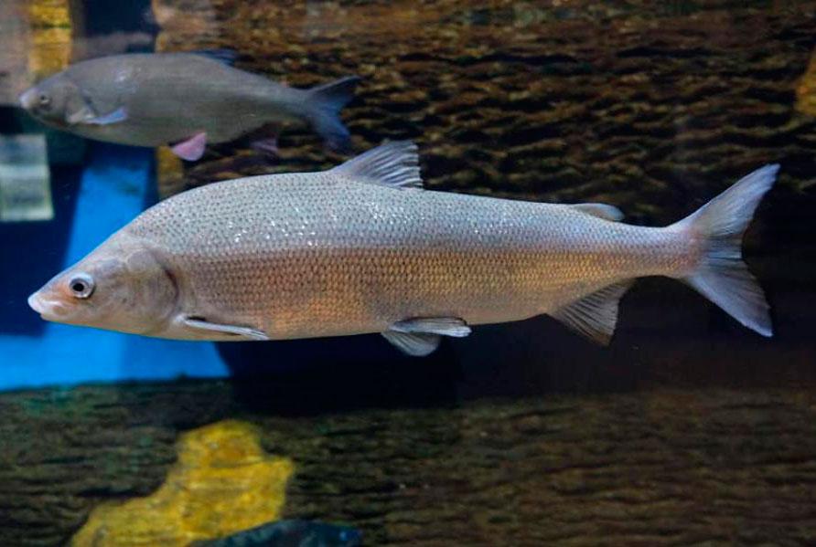 сибирская рыба мускун