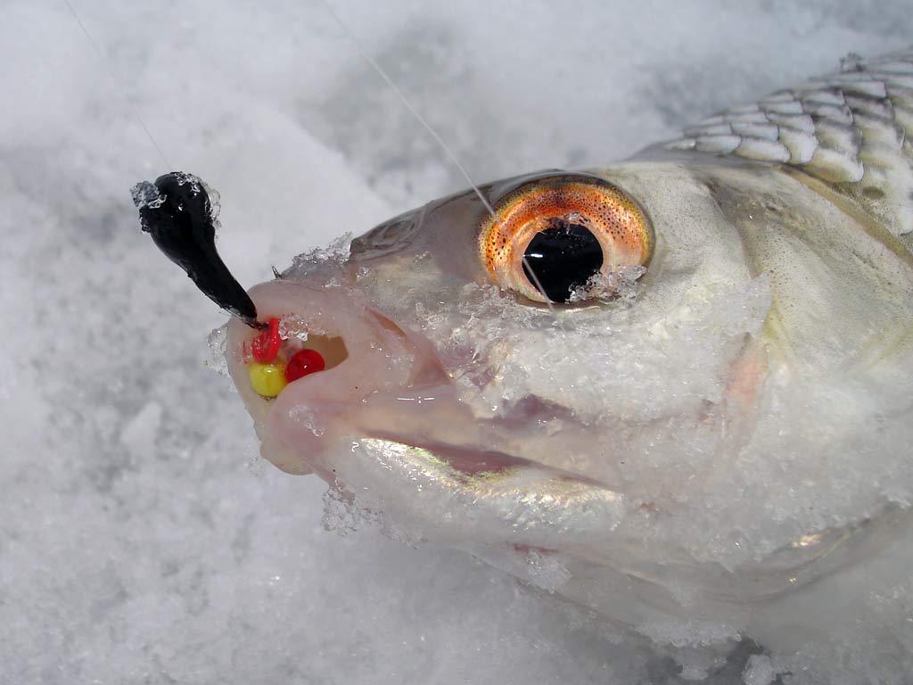 Начинающим рыбакам: секреты подледного лова плотвы