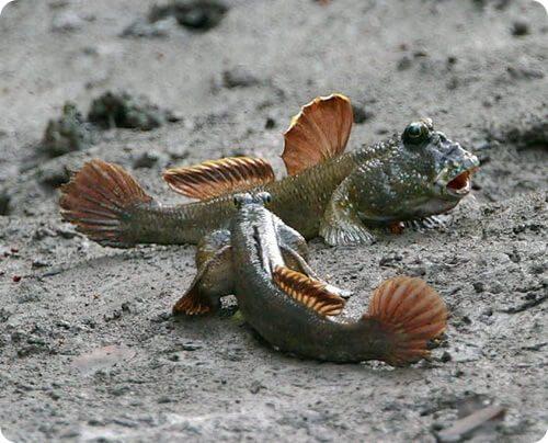 Литоральные рыбки