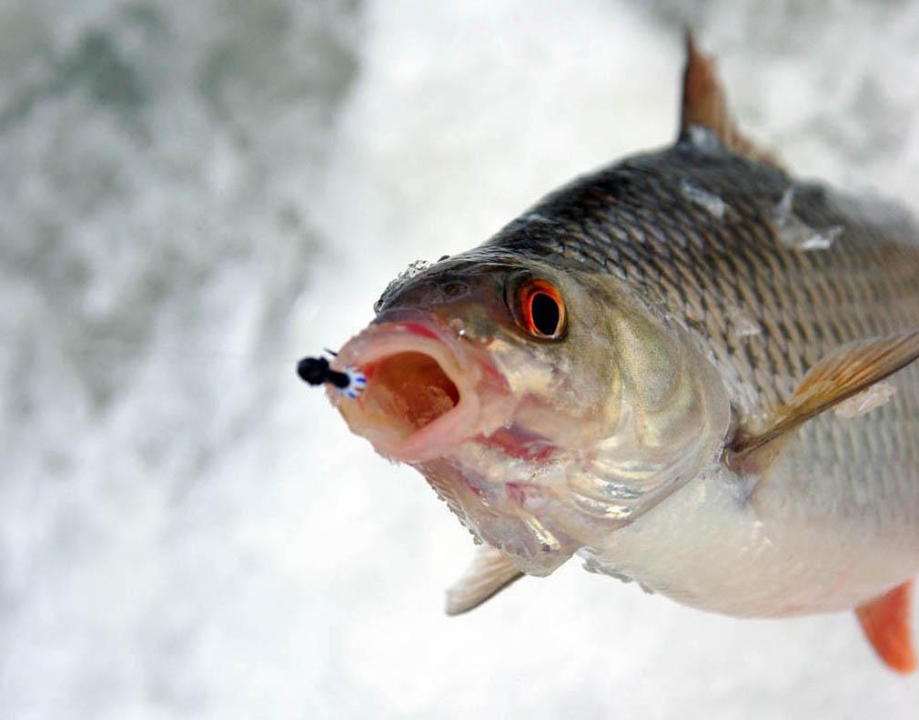 Как ловить голавля зимой на мормышки