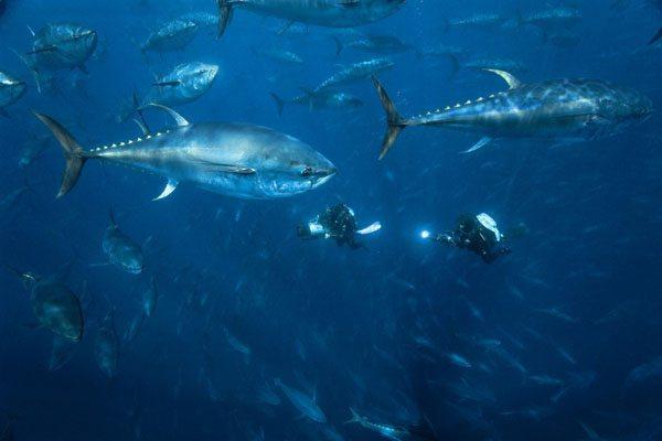Учёные из Владивостока научились управлять поведением рыб