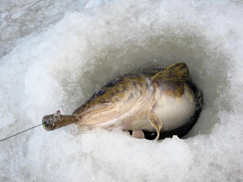 Рыбалка в зимнее время на налима