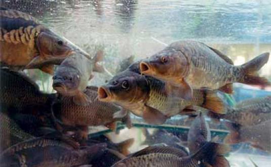 В Озёрске сообщили о массовой гибели рыбы подо льдом