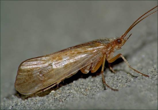 бабочка ручейника