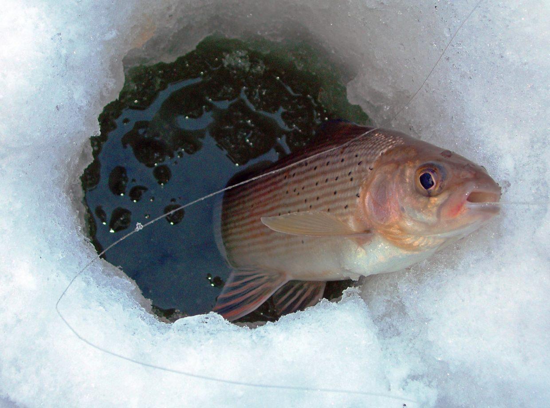 Ловля хариуса зимой - рецепт эффективной прикормки