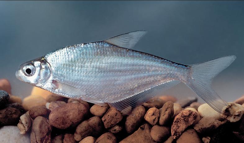 рыба сопа