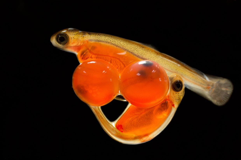 Личинки лосося