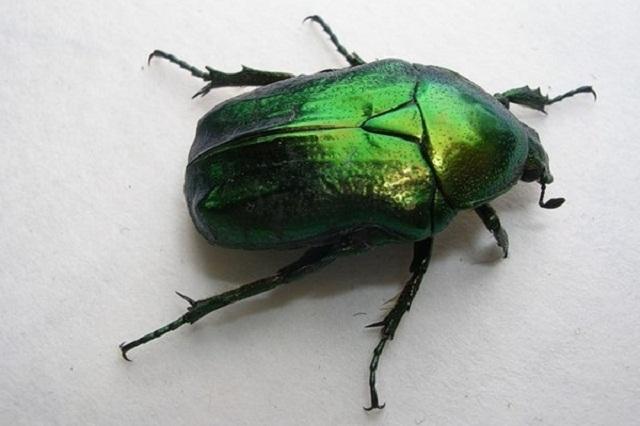 майский жук миниатюра