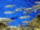 Республика бурятия: 55 млн. штук личинок омуля выпустили в акватории озера Байкал в бассейн