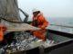 Рекорды рыбалки на макрель: улов в 4 раза и достиг 22,6 тыс. тонн