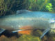 В Китае, как ожидается, взлет продаж атлантического лосося