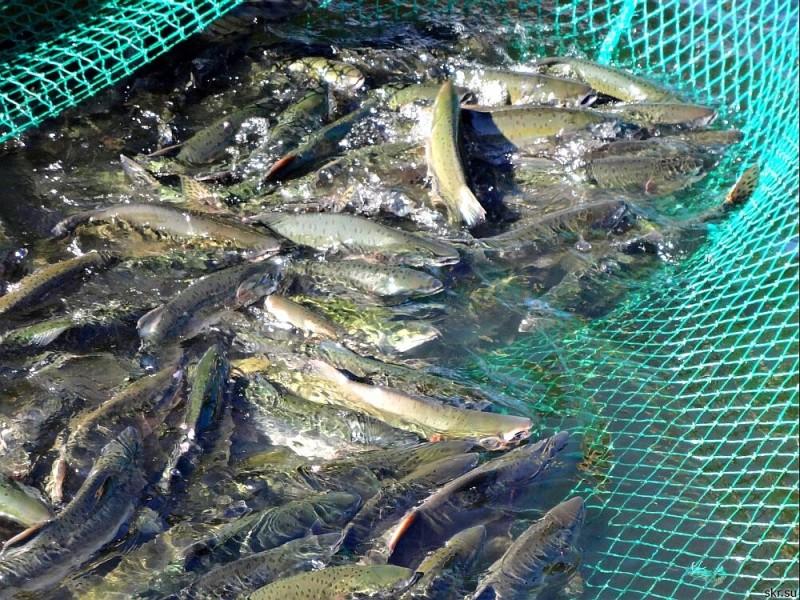 Суточная нормы вылова рыбы на одного рыболова составляет 5 кг.