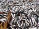 Наступающий год для рыбной отрасли Мурманской области пройдет под знаком движение