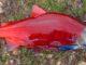 Россия дважды поворачивает США на поставку лосося в Японии