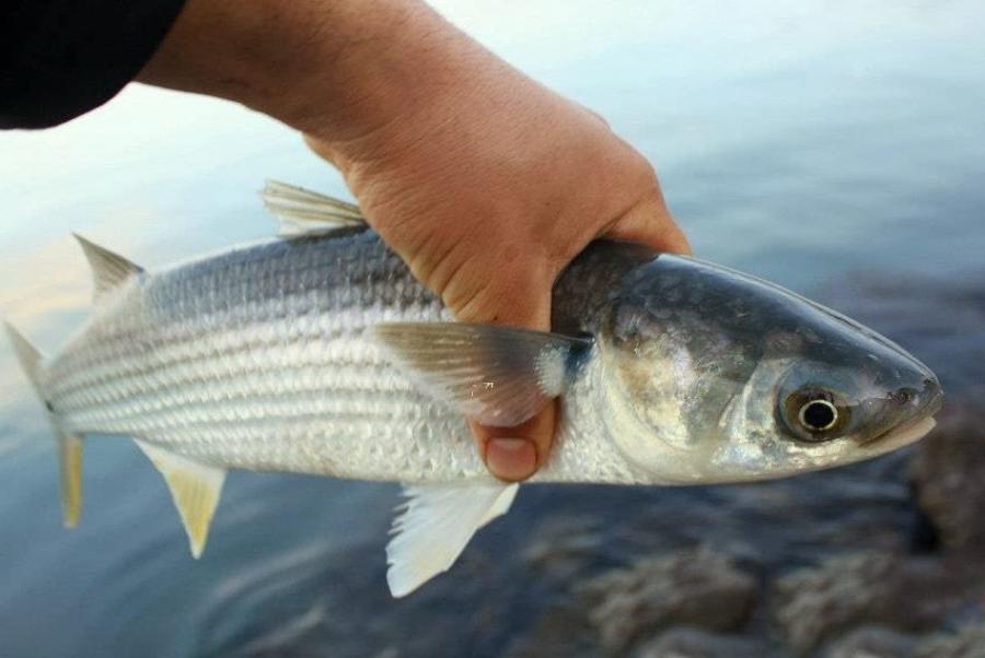 кефаль рыба