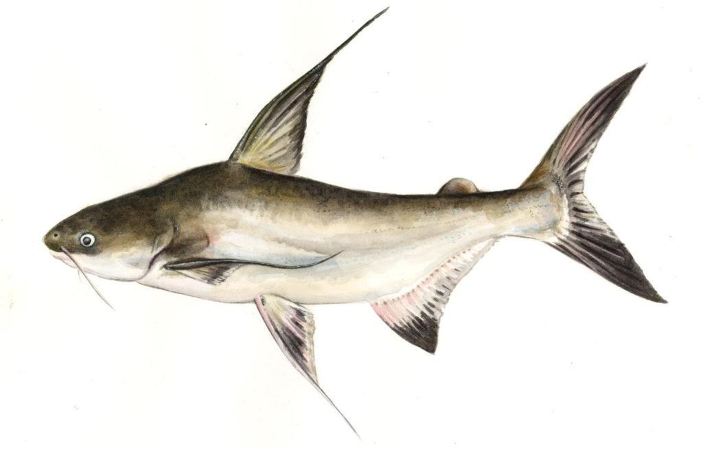 фото рыбы пангасиус