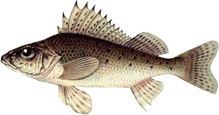 Характеристика рыбы