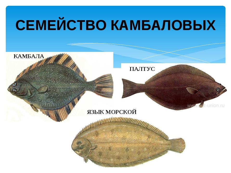 семейство камбаловых