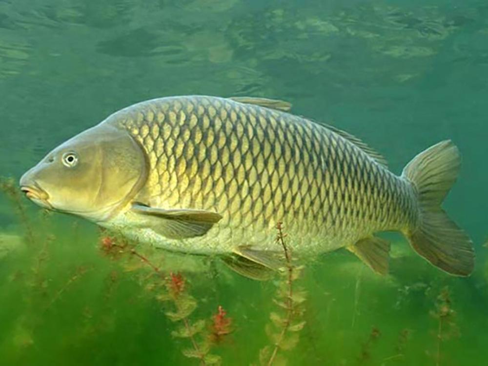 удивляться, фото сазана рыбы отождествляются татуировке