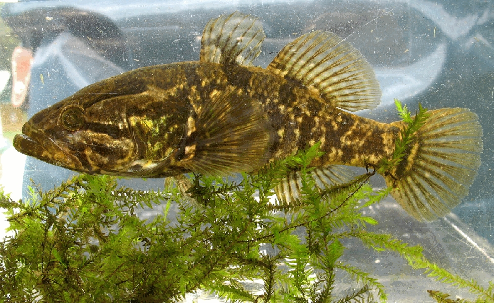 ротан-рыба