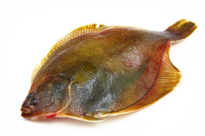 Камбала: описание внешнего вида, ареал распространения, размножение и питание