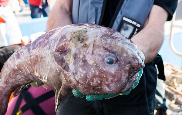 фото рыбы-капли