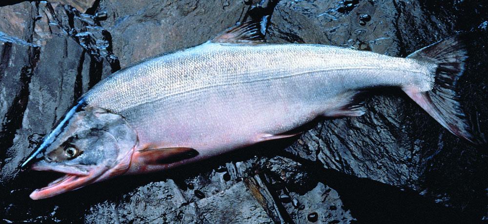 красная рыба кета