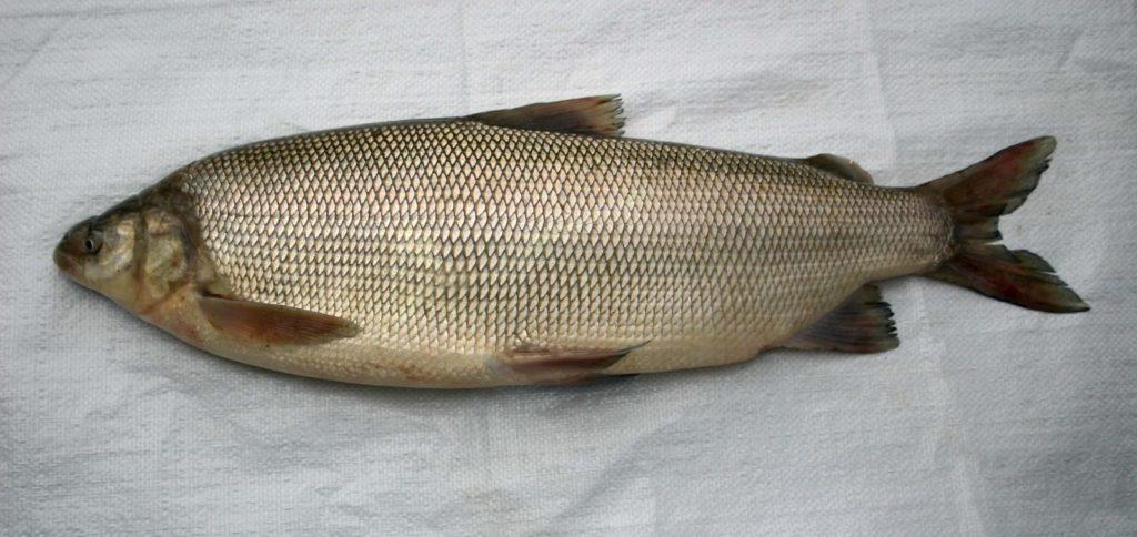 Северная рыба муксун