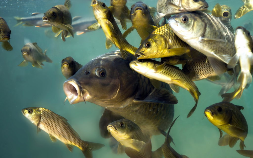 размножение рыбы
