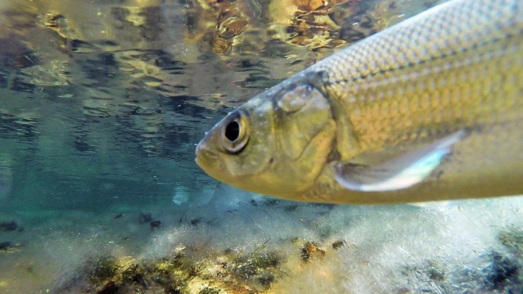 рыба омуль фото