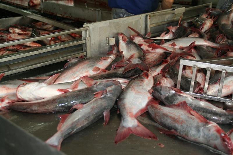 вьетнамская рыба пангасиус