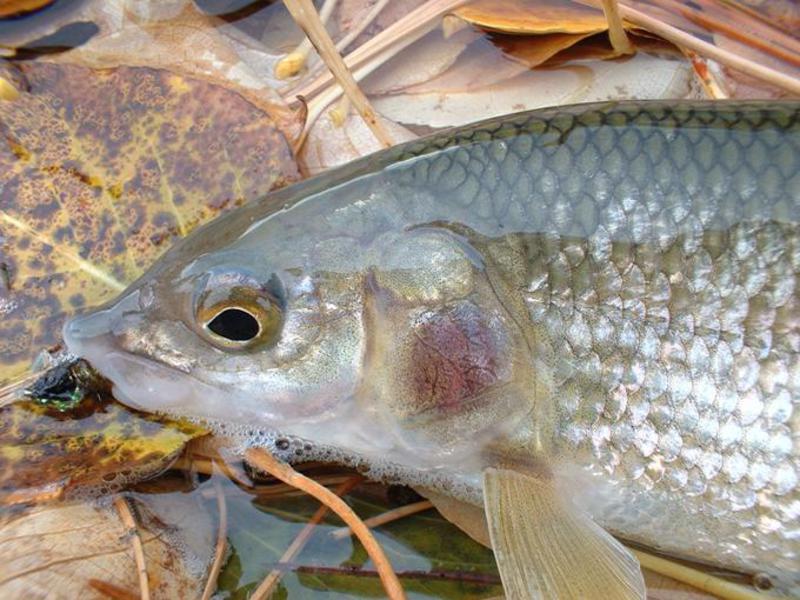 озерная рыба